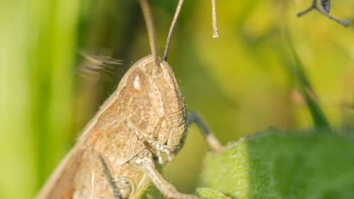 Heuschrecke mit Mücke im Anflug