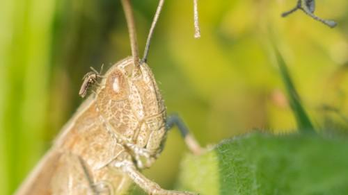 Heuschrecke mit Mücke